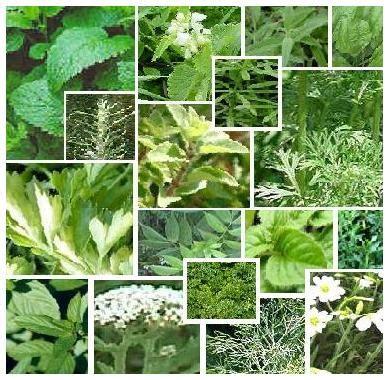 tanaman herbal  khasiatnya belajar berkebun