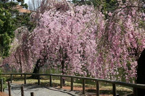 cherry tree blossoms japanese pond garden photo hubert