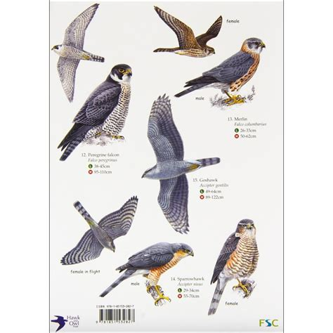 hawk identification poster related keywords suggestions