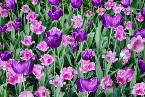 fotografie di fiori primaverili fiori primaverili di tulipani in erba verde foto stock