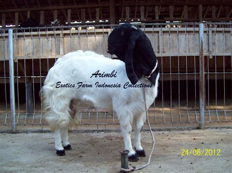 arimbi bibit kambing etawa indukkan exotics farm