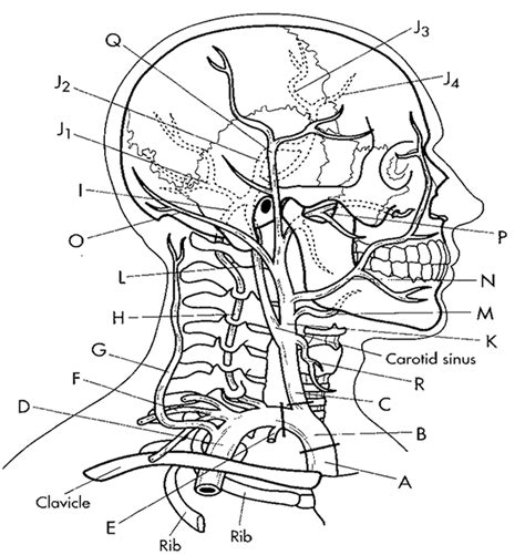 coloring page of arteries major arteries of the head coloring