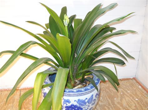 Tropical Foliage House Plants Care - easy houseplants to brighten your winter henry homeyer
