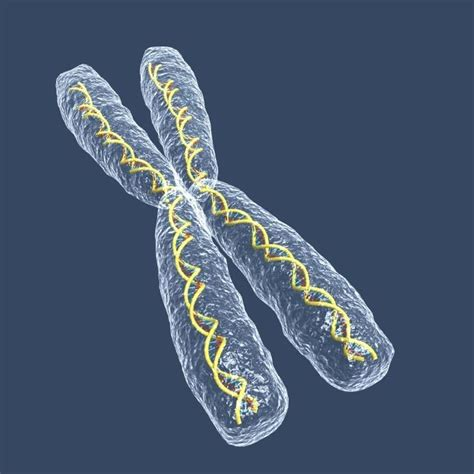 on the X chromosome helps Y Chromosome Sperm