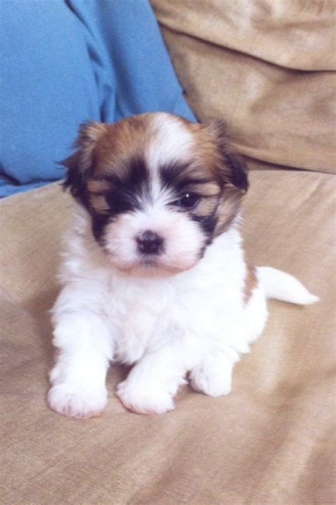 kyi leo puppies for sale f2 kyi leo puppy maltese x lhasa york pets4homes