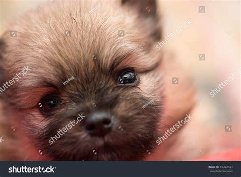 1 month pomeranian puppies pomeranian puppy 1 month portrait stock photo 336867527