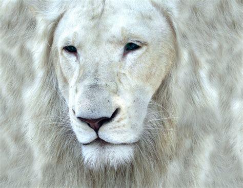 imagenes de leones rugientes curiosidades del mundo fotos del extra 241 o le 243 n blanco