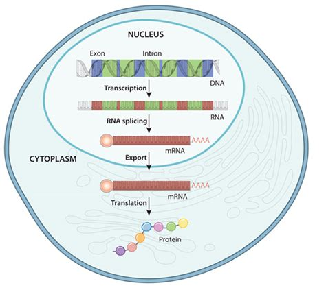 where in a eukaryotic cell does translation occur gene expression learn science at scitable