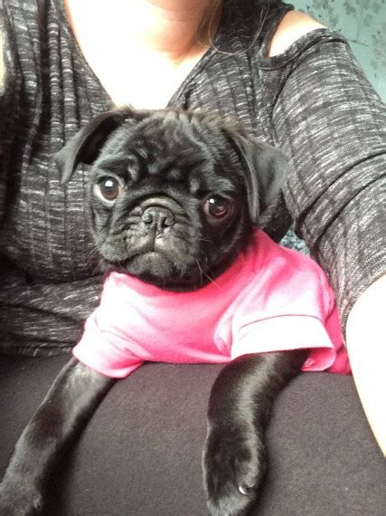 pugs for sale grimsby black pug grimsby lincolnshire pets4homes