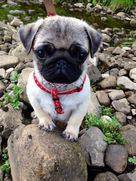 pug 4 months the cutest things on the
