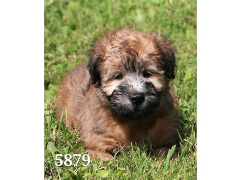 wheaten terrier puppies ohio soft coated wheaten terrier petland carriage place