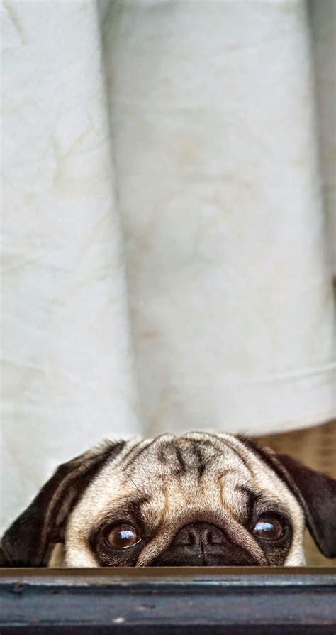 pug images in hd best 25 wallpaper ideas on