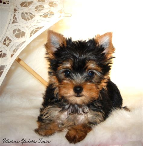 yorkies not for terrier puppies for sale in illinois yorkie breeder in illinois