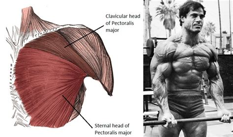 chest diagram muscles build a superior chest juicedmuscle