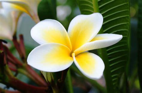 Bunga Bali Kembang Matahari http www robbiflorist toko bunga di cileungsi