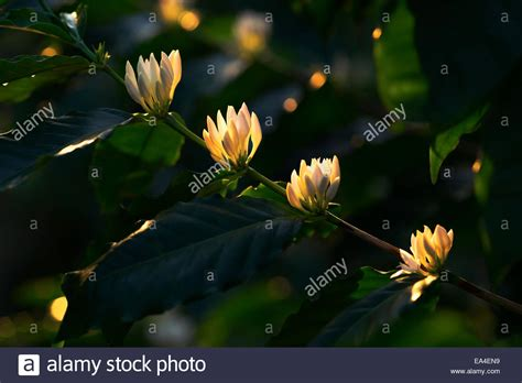 White Kona coffee tree flowers; Holualoa, Big Island, Hawaii, United Stock Photo, Royalty Free