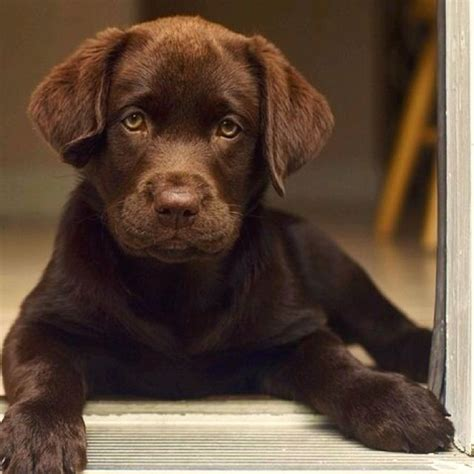chocolate lab puppy chocolate lab puppy