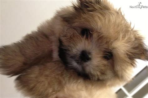maltipom puppies malti pom maltipom for sale for 675 near rochester new york 11f7e87a 5a61
