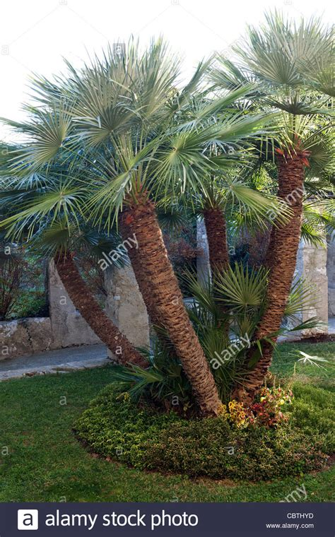 chamaerops humilis mediterranean fan palm multi trunked chamaerops humilis mediterranean fan palm