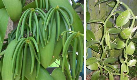 Budidaya Vanili Tahan Busuk Batang penyakit tanaman vanili detiktani
