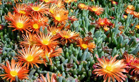 pianta fiori arancioni le piante grasse giocano da protagoniste