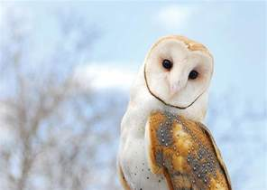 Barn Own Where Are Barn Owls When We Need Them The Martha S
