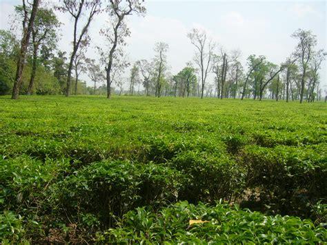 Tea Garden by File Tea Garden In Jaflong Sylhet Bangladesh 05 Jpg