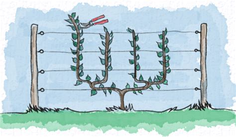 u cordon fruit trees types of espalier the enduring gardener