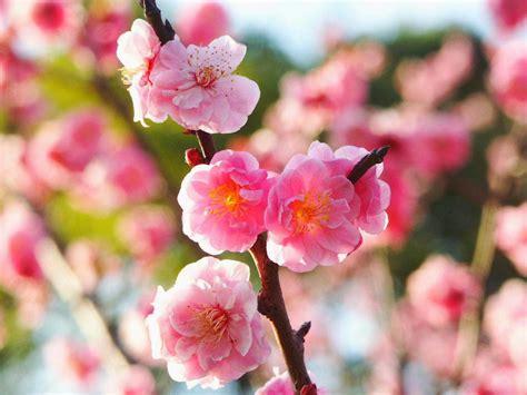wallpaper bunga sakura cantik kumpulan gambar bunga sakura pilihan sangat cantik dan