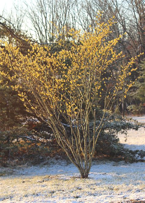 trees we love witch hazel shade tree farm