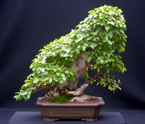 1000 images about indoor bonsai on pinterest