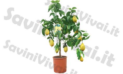 limone potatura vaso 82 pianta limone informazioni e potatura coltivarla