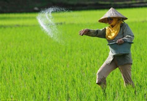 Pakan Untuk Udang Galah pembesaran udang galah di tanaman padi ugadi