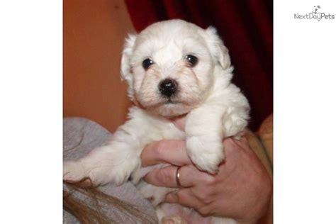 baby havanese puppies havanese for sale for 700 near south jersey new jersey e31b3abf a7a1