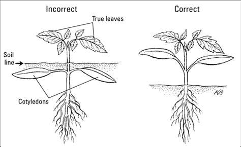 how to transplant seedlings dummies