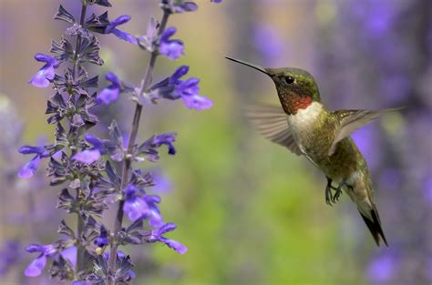 purple hummingbirds and flowers www pixshark com