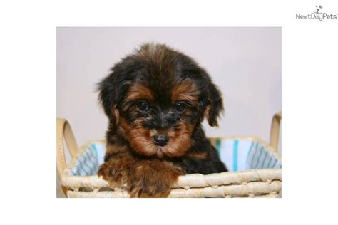 pictures of teacup yorkie poo puppies valentina our teacup yorkie poo femaledog yorkiepoo yorkie poo puppy