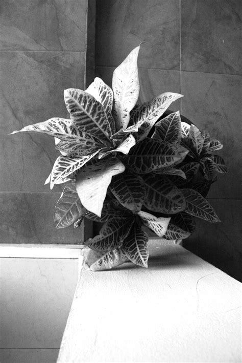 Monochrome Motif Pita jual beli rok bunga hitam putih terlengkap tanpa merek bunga latar belakang biru hd