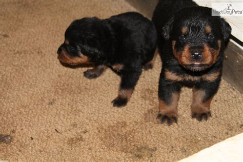 rottweiler puppies for sale in indiana akc german rottweiler rottweiler puppy for sale near lafayette west lafayette