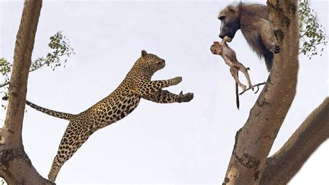 jaguar  panther fight comparison difference   win leopard hunting animals