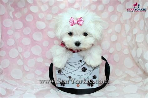 yorkie rescue sacramento puppies tiny teacup for sale sacramento ca maltese puppy rescue california maltese