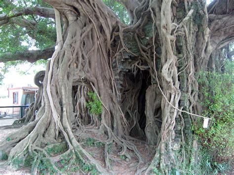 cool trees file kam tin tree house 2007 09 30 13h58m58s sn200785 jpg
