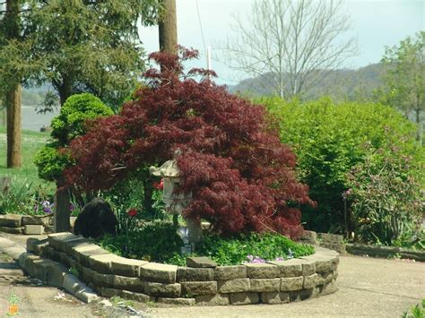 weeping tamukeyama japanese maple for sale the planting tree