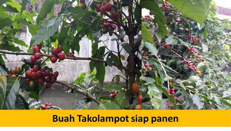 Bertanam Belimbing tanaman kopi dalam pot takolot