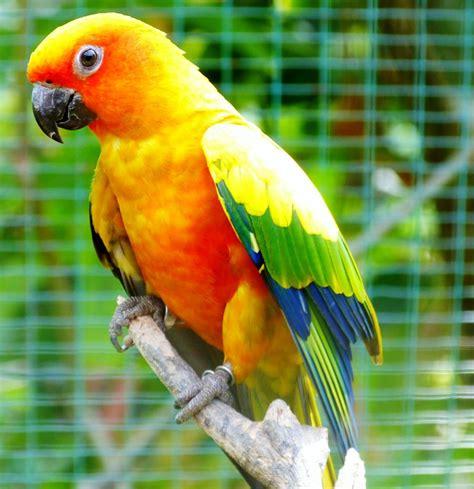 Sun conures vibrant and vocal pet birds