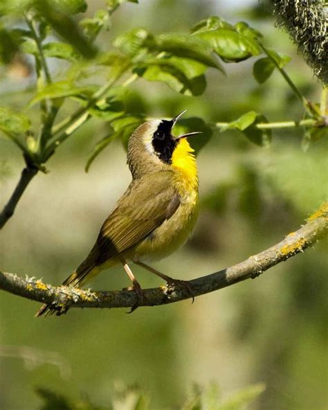 photo common yellowthroat courtesy of george gentry