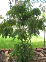 common backyard trees common backyard trees 10 edible 28 images edible wild plants 19 wild plants you