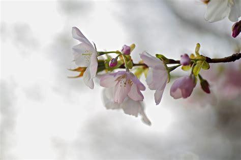 wallpaper daun musim semi wallpaper putih mekar berwarna merah muda flora