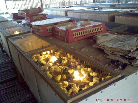 Alas Kandang Joper sumber rejeki farm pemeliharaan doc ayam kung dengan box