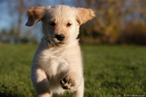 golden retriever puppies running running golden retriever puppy